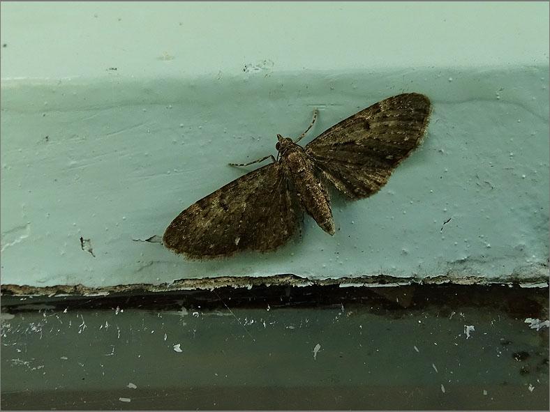 SPAN_0245_schermbloemdwergspanner_eupithecia tripunctaria