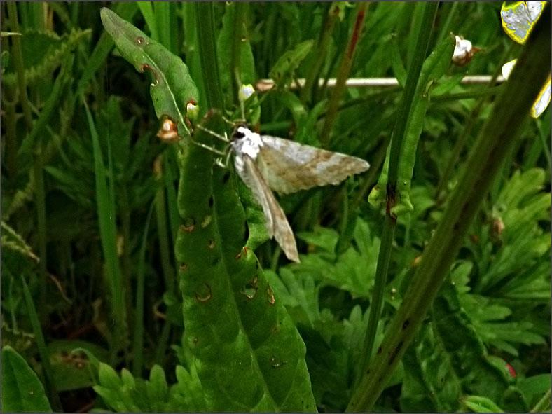 SPAN_0265_geel spannertje_hydrelia flammeolaria