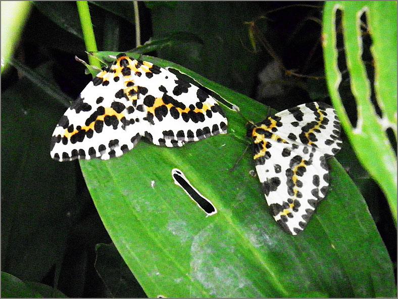 SPAN_0276_bonte bessenvlinder_abraxas grossulariata