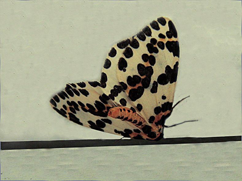 SPAN_0278_bonte bessenvlinder_abraxas grossulariata