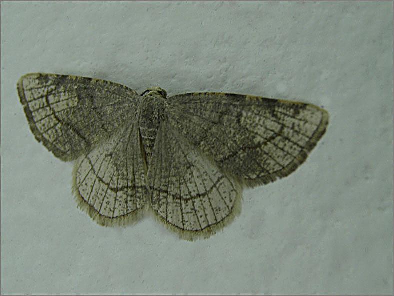 SPAN_0301_drievlekspanner_stegania trimaculata