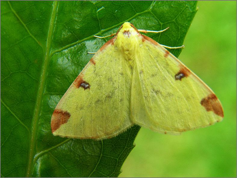 SPAN_0345_hagedoornvlinder_opisthograptis lutealata