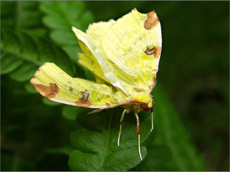SPAN_0346_hagedoornvlinder_opisthograptis lutealata