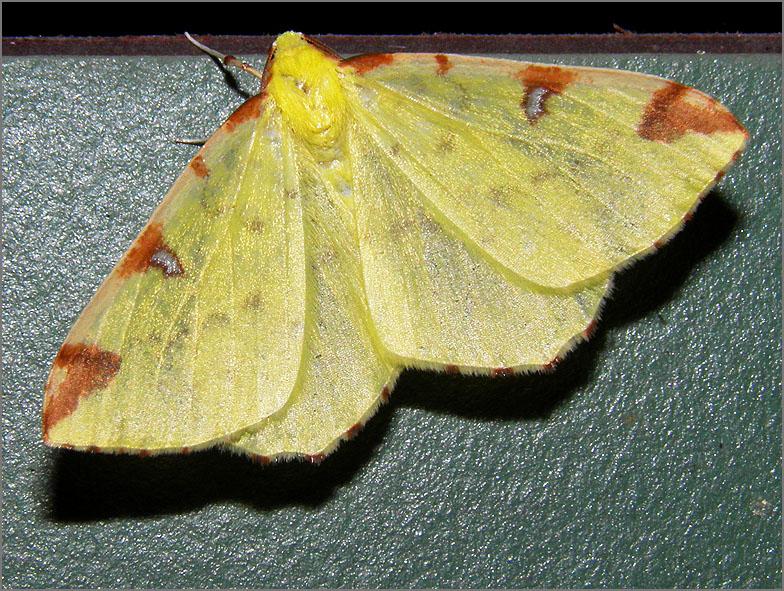 SPAN_0347_hagedoornvlinder_opisthograptis lutealata