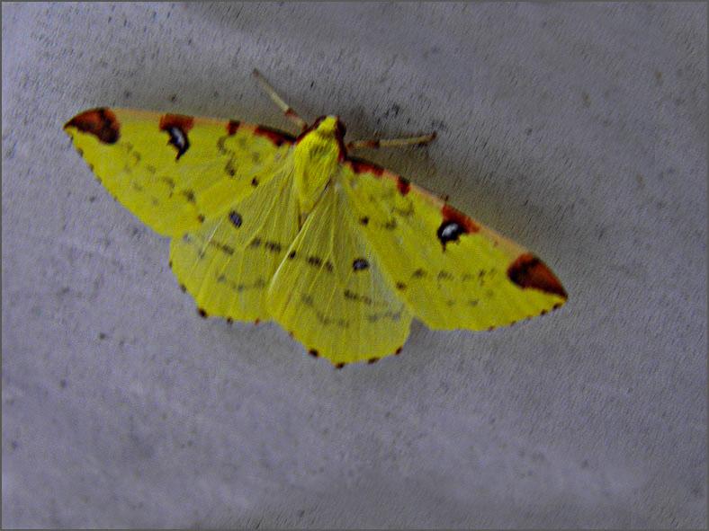 SPAN_0348_hagedoornvlinder_opisthograptis lutealata