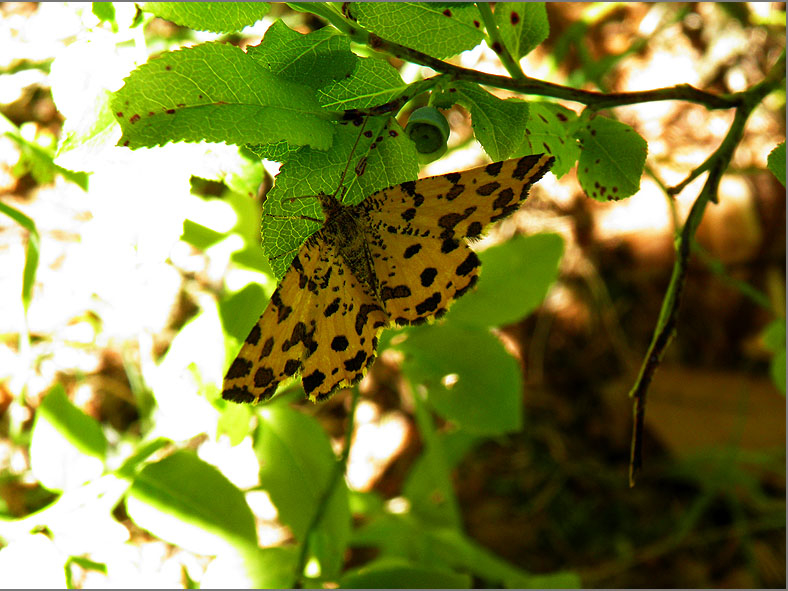 SPAN_0355_boterbloempje_pseudopanthera macularia