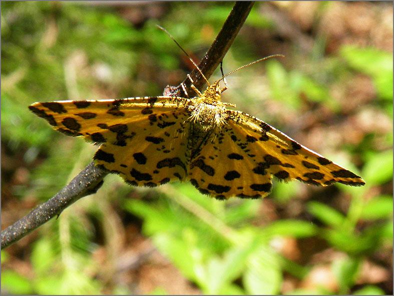 SPAN_0356_boterbloempje_pseudopanthera macularia