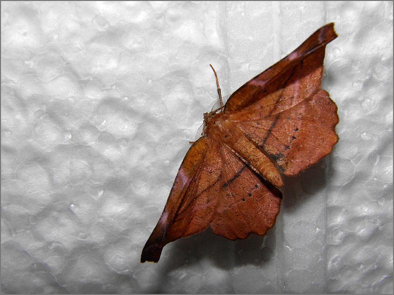SPAN_0361_seringenvlinder_apeira syringaria