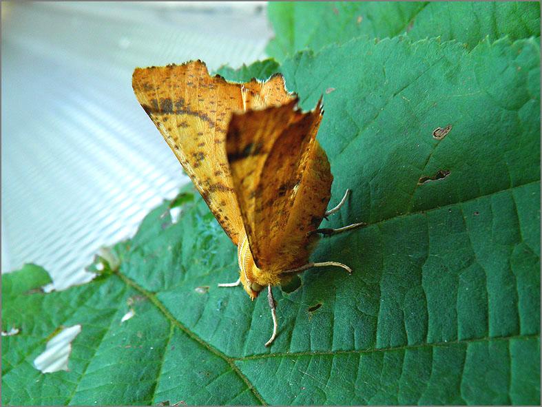 SPAN_0366_iepentakvlinder_ennomos autumnaria