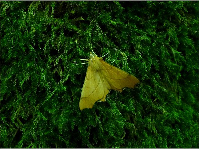 SPAN_0368_geelblad_ennomos quercinaria