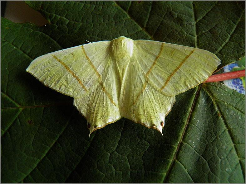 SPAN_0388_vliervlinder_ourapteryx sambucaria