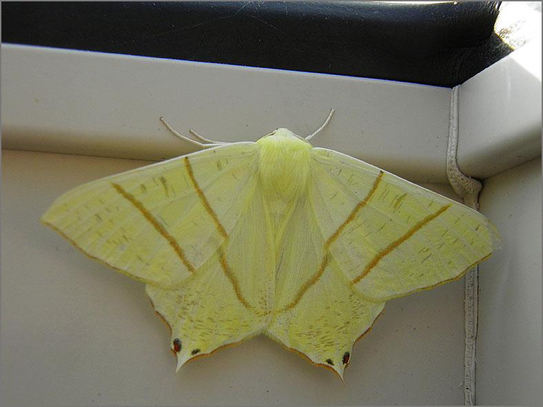 SPAN_0389_vliervlinder_ourapteryx sambucaria.