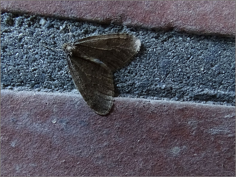 SPAN_0401_perentak_phigalia pilosaria