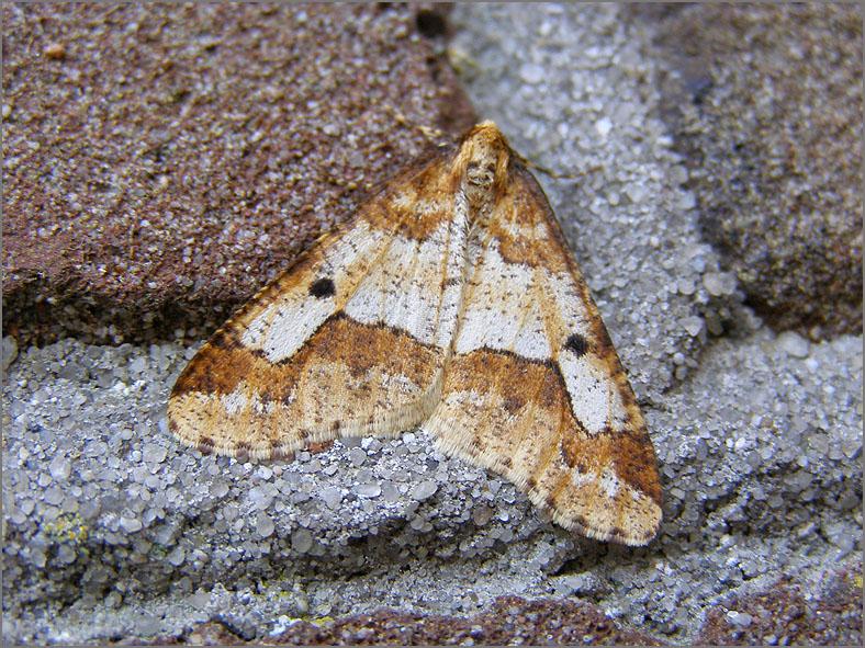 SPAN_0425_grote wintervlinder_♂_erannis defoliaria