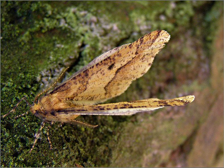 SPAN_0427_grote wintervlinder_♂_erannis defoliaria