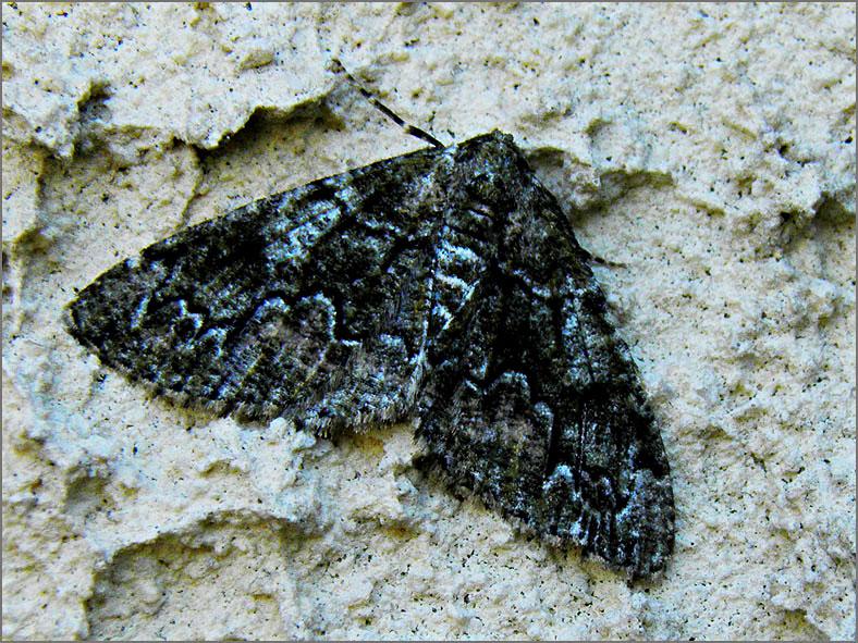 SPAN_0470_korstmosspanner_cleorodes lichenaria