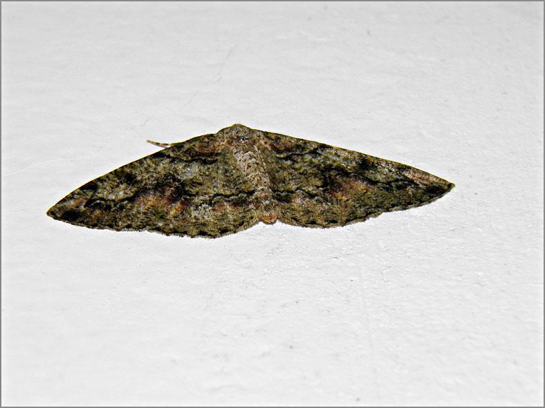 SPAN_0472_korstmosspanner_cleorodes lichenaria