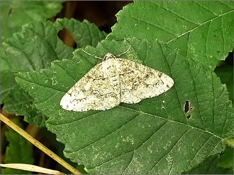SPAN_0473_korstmosspanner_cleorodes lichenaria