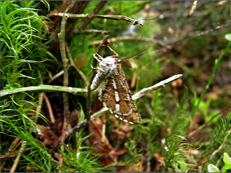 SPAN_0485_dennenspanner_bupalus piniaria