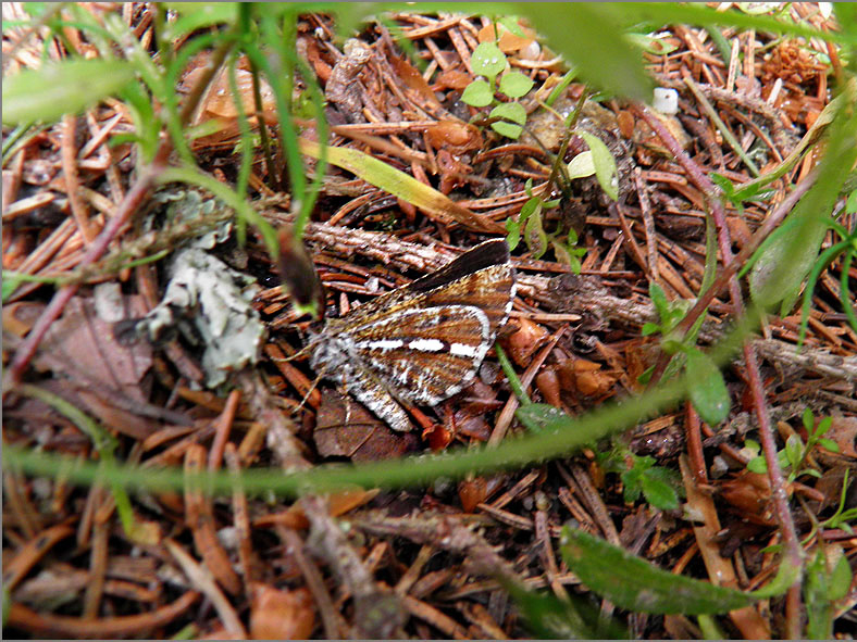 SPAN_0486_dennenspanner_bupalus piniaria