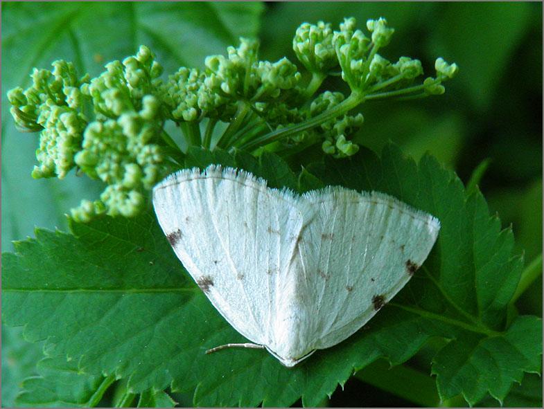 SPAN_0495_tweevlekspanner_lomographa bimaculata