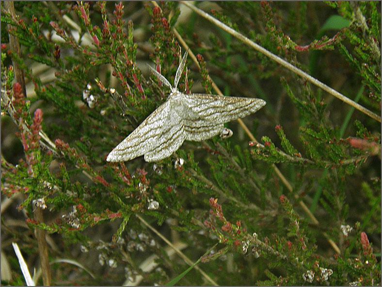 SPAN_0519_gestreepte bremspanner_♂_perconia strigillaria