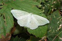 SPAN_0002_zomervlinder_geometra papilionaria