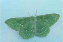 SPAN_0004_zomervlinder_geometra papilionaria