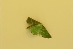 SPAN_0007_geblokte zomervlinder_thalera fimbrialis