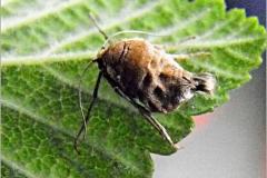 SPAN_0011_voorjaarsboomspanner_vr_alsophila aescularia