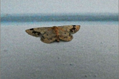 SPAN_0058_zuidelijke stipspanner_idaea trigeminata