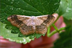 SPAN_0064_grijze stipspanner_idaea aversata