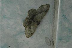 SPAN_0066_grijze stipspanner spec_idaea aversata_nomino typische vorm