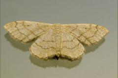 SPAN_0067_grijze stipspanner_idaea aversata