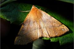 SPAN_0396_gepluimde spanner_colotois pennaria
