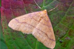 SPAN_0405_najaarsspanner_agriopis aurantiaria
