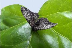 SPAN_0414a_peper-en-zoutvlinder_biston-betularia