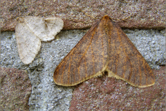 SPAN_0428_grote wintervlinder_♂_erannis defoliaria