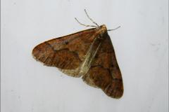 SPAN_0429_grote wintervlinder_♂_erannis defoliaria