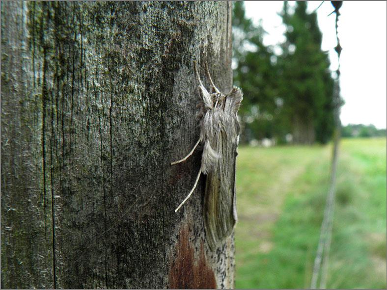 UIL_0183_grauwe monnik_cucullia umbratica