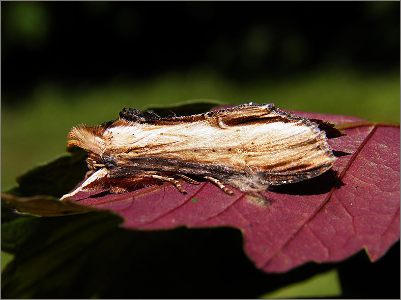 UIL_0185_helmkruidvlinder_shargacucullia scrophulariae