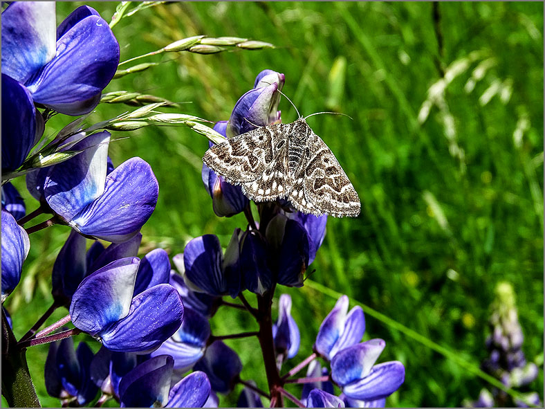 UIL_0232 mi-vlinder_euclidia mi