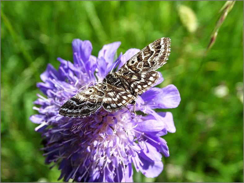UIL_0233 mi-vlinder_euclidia mi