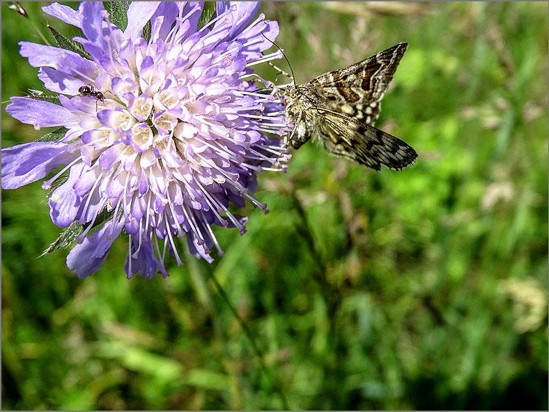 UIL_0234 mi-vlinder_euclidia mi
