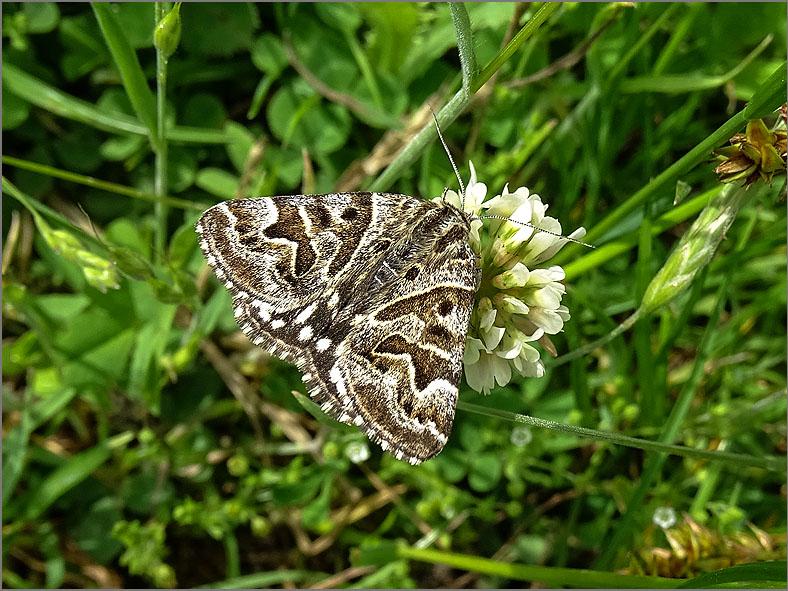 UIL_0235 mi-vlinder_euclidia mi
