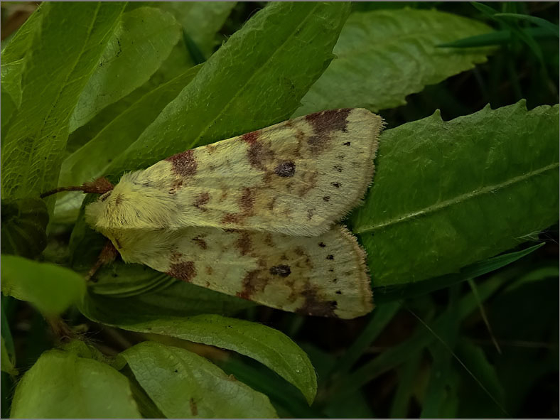 UIL_0238_gewone gouduil_xanthia icteritia