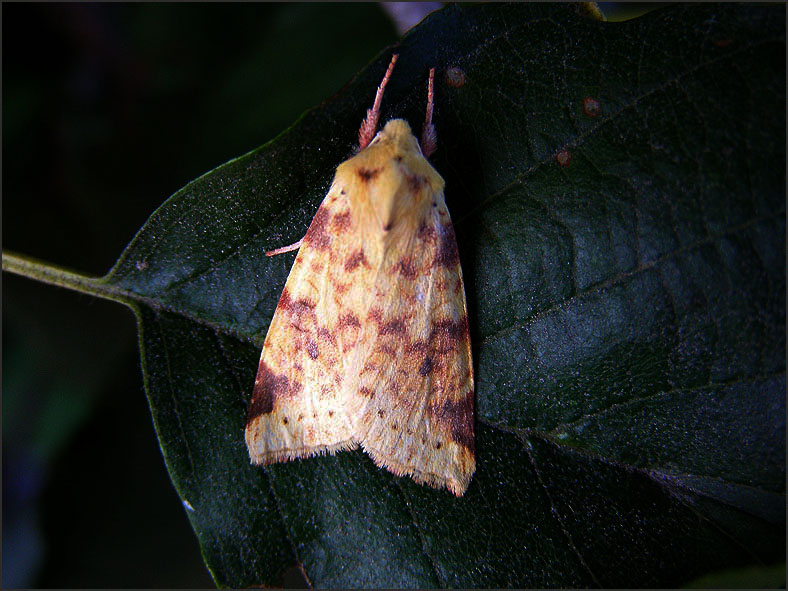 UIL_0239_gewone gouduil_xanthia icteritia