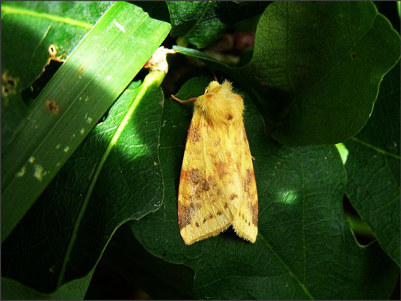UIL_0241_gewone gouduil_xanthia icteritia