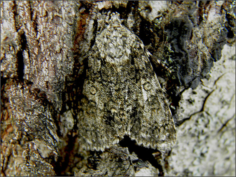 UIL_0281_zuringuil_acronicta rumicis