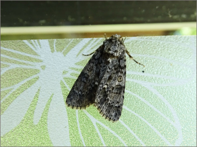 UIL_0284_zuringuil_acronicta rumicis